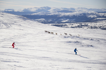 In Åre you can meet reindeer on the slopes.