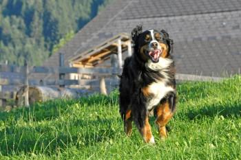 Amadeus in Action, normalerweise ist er ein ganz ruhiger und gemütlicher Hund