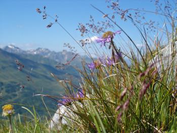 Alpenaster