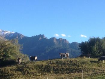 Tiroler Grauvieh - im Hintergrund die Zirmesköpfe