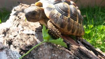 Schildkröte Kassiopeia