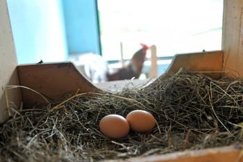 Ein frisches Ei aus dem Nest der Henne, zum Frühstück gefällig?