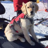 Kibbie the Avalanche Dog